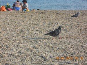 LE PIGEON. dans -Mes romans-nouvelles-essais-poèsies. aout-septembre-2012-270-300x225
